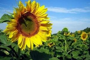 България е изнесла 154.5 хил. тона слънчоглед от началото на сезона