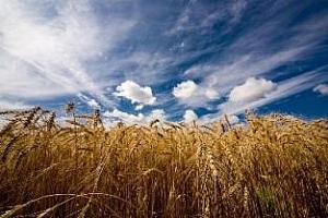 Казахстан завърши жътвата, овършани са 14,7 млн. тона зърно