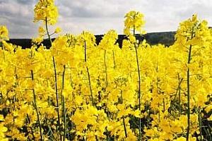 Informa Economics: Световното производство на рапица през 2013/14 МГ ще достигне 65.9 млн. тона