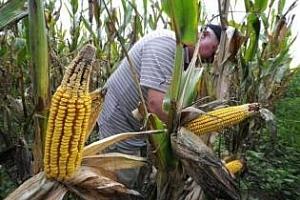 Аржентина ще загуби 1-2 млн. тона царевица заради дъждовете