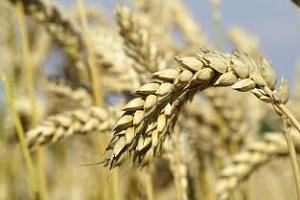 Цената на българската пшеница се е увеличила с 32% за една година