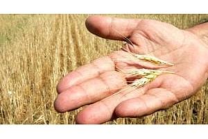 Реколтата от пшеница в Испания е понижена с 26%
