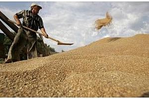 Почти 90% от реколтата с германската пшеница е с високо и средно качество