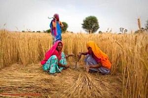 Реколтата от пшеница в Индия може да счупи рекорда от миналата година