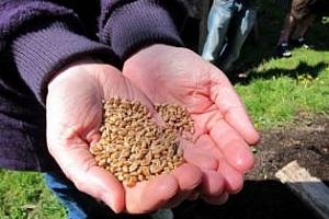 135 хиляди декара са засети с пшеница в Пазарджишко