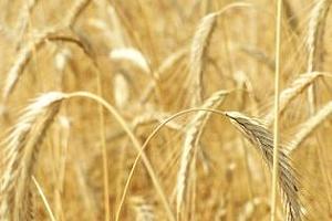 Йордания обяви търг за закупуване на пшеница и ечемик