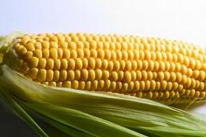 Средният добив от царевица в ЕС падна с 21%