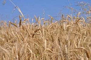 Ирак промени датата за провеждане на търг за пшеница
