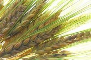 Запасите от зърно в Русия рязко ще паднат през юли 2013 г. Има ли нужда от масиран внос?