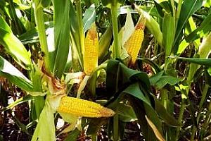 IGC понижи прогнозата за световните запаси от царевица с още 1 млн. тон
