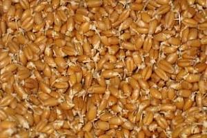 Сеитбата на зимни зърнени култури значително изостава във Франция