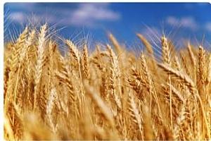 ЕС издаде рекорден обем лицензи за износ на мека пшеница