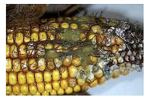 Афлатоксини в 7% от царевицата в Сърбия