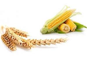 Увеличен износ на пшеница и царевица от Русия