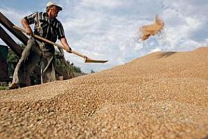 IGC: Световното потребление на зърно и маслодайни култури ще расте по-бързо от производството