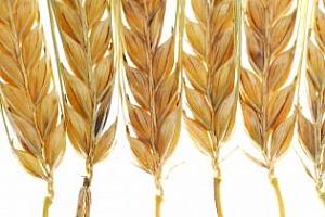 Американската пшеница завладява пазара на Египет