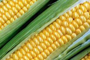 USDA: Сърбия ще изнесе 6 пъти по-малко царевица