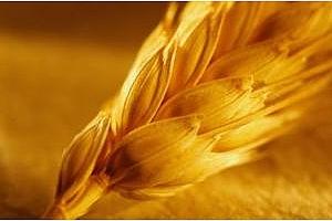 Бангладеш обяви търг за покупка на пшеница