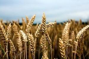 Украйна ще продаде на търг 300 хил. тона пшеница
