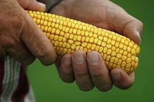 Котировките на американското зърно падат заради добрите новини от Аржентина
