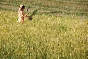 Най-високата цена на търга за износ в Индия достигна $ 318 за тон пшеница