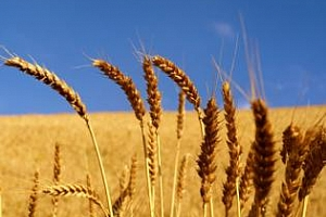 Украйна ще произведе с 20% повече зърно през 2013 г.