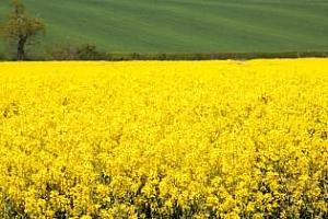 Informa Economics: Световното производство на рапица и соя ще се повиши