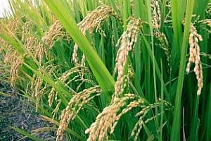 Над 90% от потреблението на ориз в Ирак е от внос