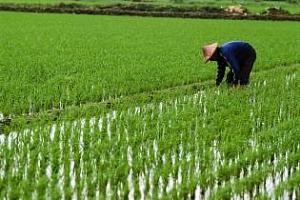 В Тайланд расте заплахата от прекомерни запаси на ориз