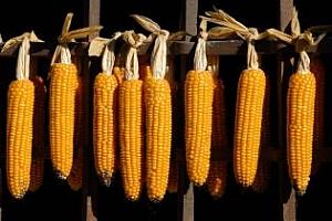 Цената на царевицата ще се повиши през следващите седмици