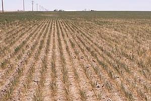 Състоянието на посевите от зимна пшеница в САЩ е силно влошено