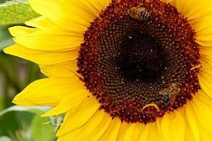 България намали износа на слънчоглед