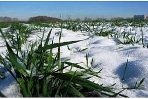 Зимните зърнени култури в Русия може да загинат на площ от 1,5-2 млн. хектара