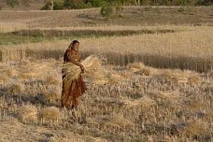 Индия предлага за износ пшеница от новата реколта