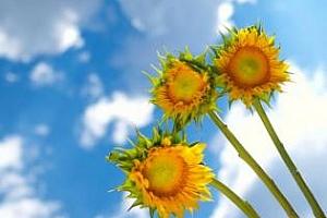 Производството на слънчоглед в България през  2013/14 МГ ще е 1,4 млн. тона