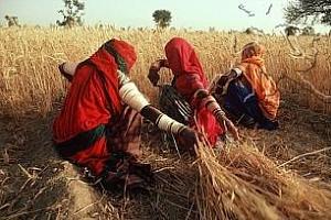 Цени на търга за износа на 200 хил. т индийска пшеница