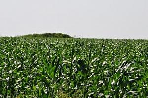 Реколтата от царевица в Аржентина може да бъде рекордна