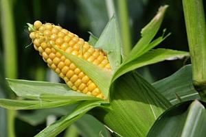 USDA : Предстои рекордна реколта от царевица в САЩ