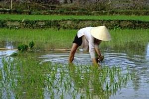 Износът на ориз от Виетнам спада