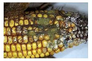 Сърбия достави в Германия заразена с афлатоксини царевица