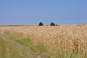 Очаква се добра реколта от пшеница в България