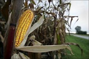 Агро коментар: Ценово рали при царевицата
