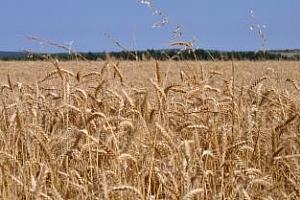 Informa Economics понижи прогнозата за реколтата от пшеница в ЕС и Казахстан