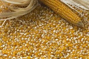 Израел закупи на търг украинска царевица