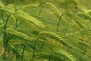 Саудитска Арабия купи царевица и ечемик