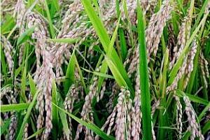 Ориз: Леко повишение на цената на оризовата арпа