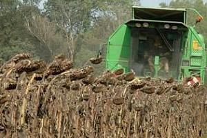Прибирането на слънчогледа в Аржентина набира скорост