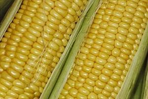 Агро коментар: Малки запаси от царевица, високи цени