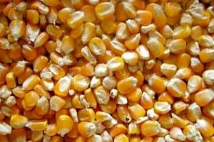 Агро коментар: Не подценявайте износа на царевица от Украйна