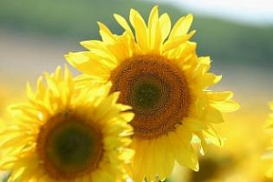 Украйна внася рекордни количества семена за слънчоглед